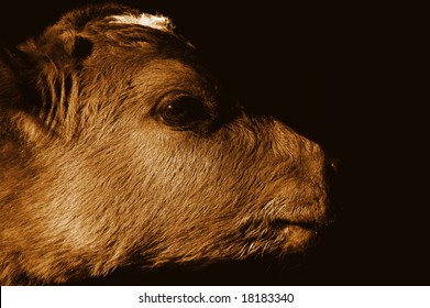 young bull on black background