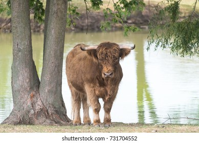 Young bull on a country safari farm