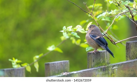 Young bullfinch fledgling perched on a wooden fence with twigs and leaves and creamy out of focus green foliage background