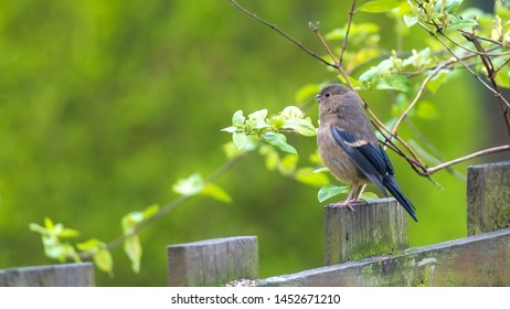Young bullfinch fledgling standing up on a wooden fence surrounded by twigs and fresh green leaves with a beautiful out of focus creamy green foliage background