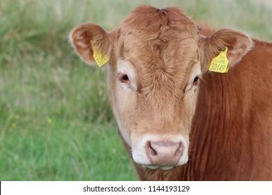 Young Bullock Portrait