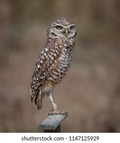 Young burrowing owl stands on perch