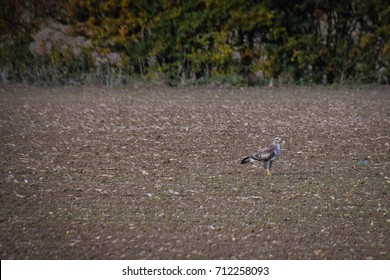 Young buzzard camouflaged against newly ploughed field