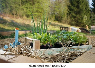 Young cabbage, leek and salad plants ready to be planted inside raised garden bed. Using mulch for weed control, water retention. Permaculture, organic garden concept.