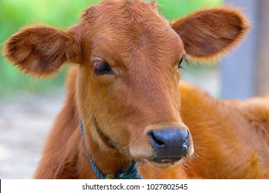 Young calf at agricultural farm.