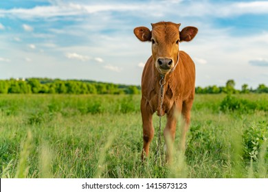 Young calf is grazed in a meadow, close-up