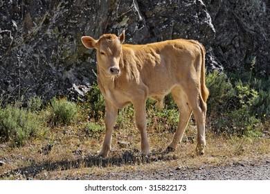 Young calf near Belgodere, Nebbio region, Corsica, France, Europe