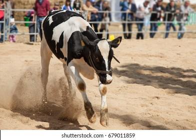 young calf in the pen runs.