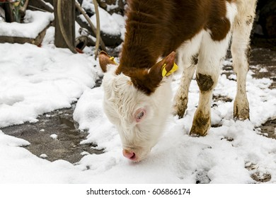 Young calf standing next to a barn in winter