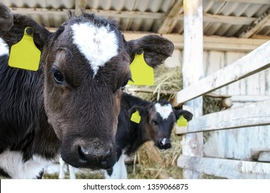 Young calves in a farm. Calf Care. Young black and white newborn calf sticking his head out of the stall. Head of a young calf with yellow tags in the ears.