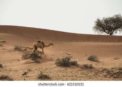Young camel walking in the desert