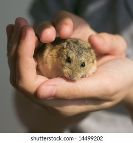 Young campbell's dwarf hamster (Phodopus campbelli) in woman hands