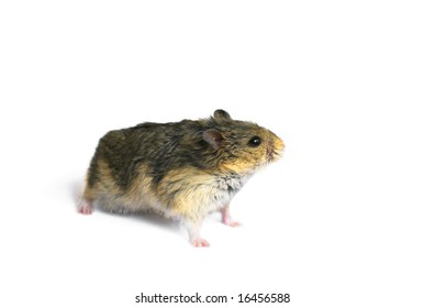 Young campbell's dwarf hamster (Phodopus campbelli) isolated on whitebackground