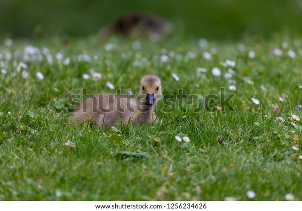 young-canadian-goose-on-grass-600w-12562