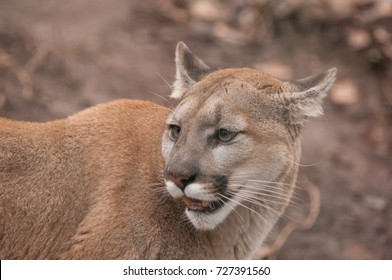 young Canadian  Mountain Lion / Puma / Cougar in close up