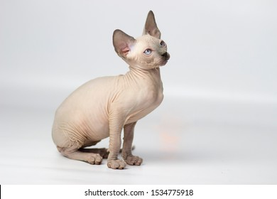 Young canadian sphinx cat on light background