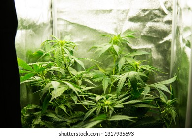 Young cannabis plant. Cannabis at the beginning of flowering. Medicinal indica with CBD. Northern light strain. Legal Marijuana cultivation in the home. In door grow hemp. Green background of leaves.