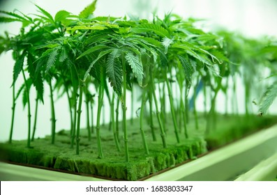 Young Cannabis Plant Clones Seadlings in Vegetation at Commercial Legal Marijuana Hemp Growing Business
