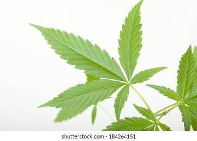Young cannabis plant, marijuana, isolated on white background