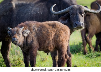 Young cape buffalo calf stands next to mother