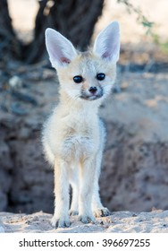 A young Cape fox standing in front of a hole in the ground.