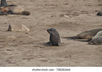Young cape fur seal looking for its mother, at Cape Cross in Namibia.