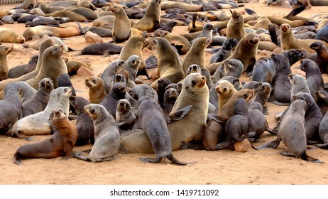 Young Cape fur seal pups with their mothers at the seal colony on the beach at Cape Cross on the Namibian coast. Seal pups have previously been hunted for their jet black pelts.