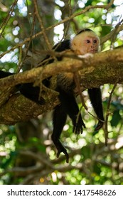 A young Capuchin Monkey rests in a tree of a tropical forest in Costa Rica