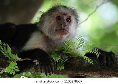 A young Capuchin Monkey (white throat monkey)with spikey hair posing for the camera on the branch of a tree in Costa Rica