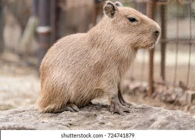 A Young Capybara