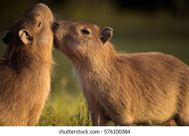 young capybaras playing. Young capybaras playing in the sunset light, in the Esteros del Ibera, province of Corrientes, north-east Argentina.