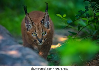 young caracal in forest near rock...