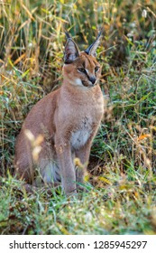 Young caracal in a game reserve in the Greater Kruger Region South Africa