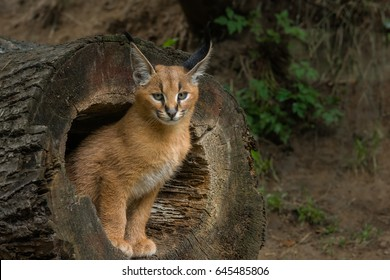 Young caracal in a hole in a tree trunk