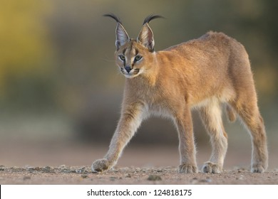 A young Caracal walking in South Africa, (Felis caracal)