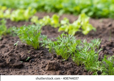 Young carrot plant sprouting out of soil on a vegetable bed. Shot with shallow depth of field.