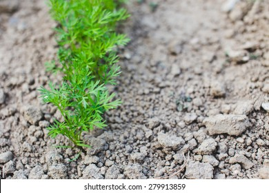 Young carrots growing