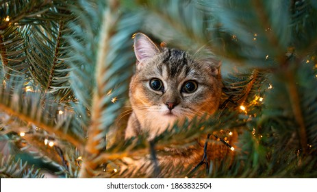 young cat with big beautiful eyes sits on a Christmas tree