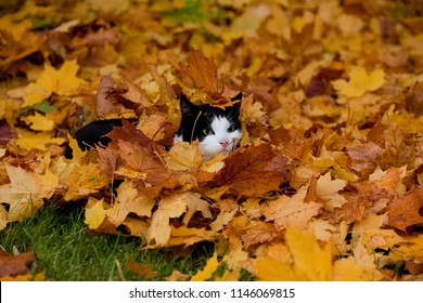 young cat with black and white fur plays in a pile of yellow maple leaves in autumn, he looks astonished or upset