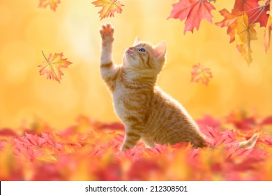 Young cat with blue eyes, playing in autumn leaves