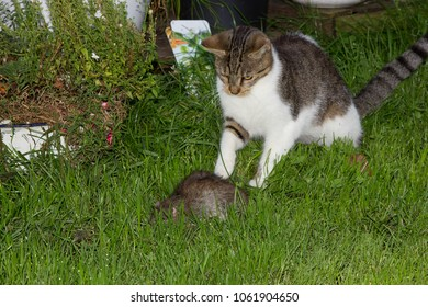 Young cat is catching a big rat.