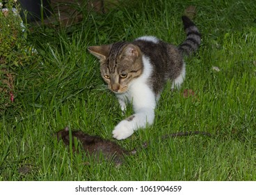 Young cat is catching a big rat in the garden.