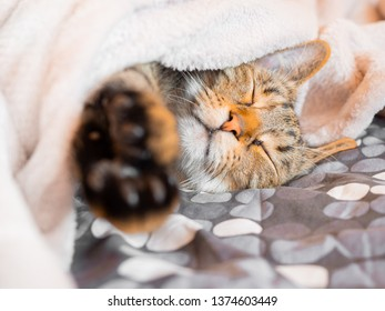 Young cat dreaming in bed under fluffy blanket