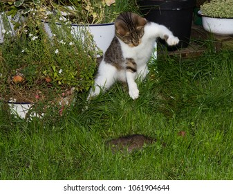Young cat is hunting a rat and jumps upton it.