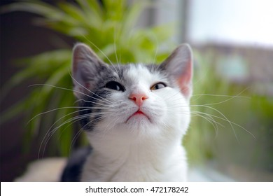 a young cat is looking up after meowing the focus is on the nose and whiskers. The background is soft and blurry