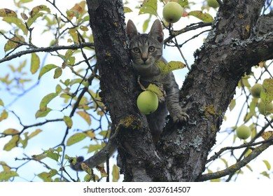 Young cat on an apple tree, between branches, eyes straight ahead, looking serious. Green apple fruit hanging below cat's face.