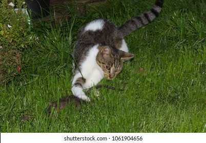 Young cat is playing with a rat.