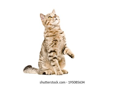 Young cat Scottish Straight sitting curious to looking up