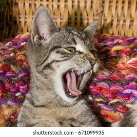 Young cat is yawning and feeling save in its colorful basket.