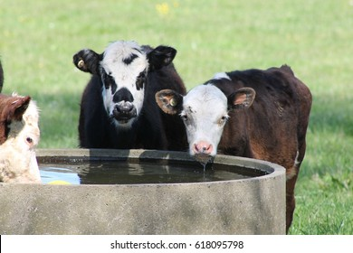 Young Cattle Drinking